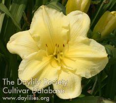 Daylily Anne's Good Morning Sunshine