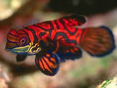 The Mandarinfish or Mandarin dragonet, is a small, brightly colored member of the dragonet family, which is popular in the saltwater aquarium trade.  It looks more like an intricate painting that it does a fish, its entire body is made up of wavy alternating lines of orange, blue and green. Sadly, these fishes do very poorly in captivity.
