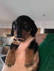 Miniature Dachshunds Dachshund Puppies For Sale Aberglasslyn New