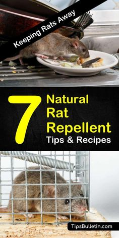 Find out how you can protect your home from rodents with these natural rat repellent tips. With homemade recipes and methods that will teach you how to get rid of mice, pest control will be easier than ever. Natural Rat Repellent, Mice Repellent, Insect Repellent, Rat Control, Diy Pest Control, Animal Control, Keep Mice Away, Rat Infestation, Getting Rid Of Rats