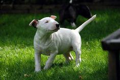 Hmmmm... English Bull Terriers, Bullies, Animal Pictures, Labrador Retriever, Pitbulls, Best Friends, Bear, Dogs, Beagle Dog