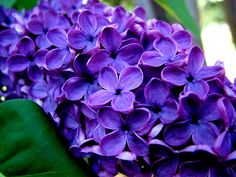 purple flowers 14062