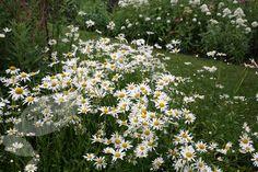 Ox-eye daisy Leucanthemum vulgare.