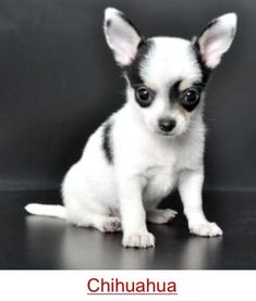 Chihuahua omg the face!!