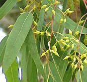 Eucalyptus Aroma-therapy:-  Properties, Characteristics and Uses of Eucalyptus Aromatherapy Oils