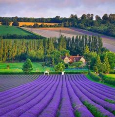 ...a field of lavender