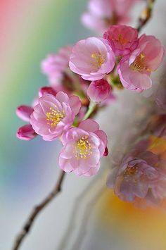 Spring - pink flowers...