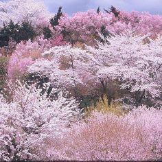 桃源郷の桜 福島   春の福島旅行:http://bit.ly/10AiYf2