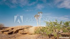 Stock Footage of Linear timelapse, right to left at 45 degree angle up of a young quiver tree among granite rocks with green shrubs against a blue sky and scattered clouds available on request. Explore similar videos at Adobe Stock Degree Angle, Quiver, Stock Video, Shrubs, Stock Footage, Granite, Adobe, Rocks, Trees