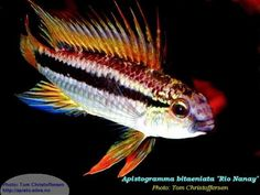"Apistogramma cf. bitaeniata ""Rio Nanay"" (banded or two-striped)"