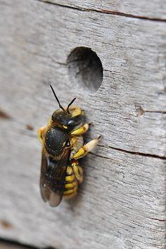 Bijenhotels voor wildebijen.grote wolbij