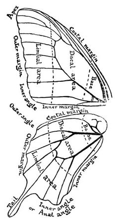 Butterfly wing anatomy use as template for picture