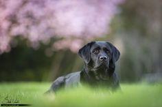 schwarze Labrador Hündin Amy vor Kirschblüten   Hundefotografie München