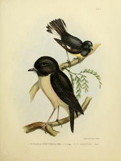nz birds - 1844 - The zoology of the voyage of the H.M.S. Erebus & Terror, under the command of Captain Sir James Clark Ross, during the years 1839-43. by Sir John Richardson