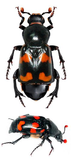 """Nicrophorus carolinas.   Staphylinoidea, Silphidae (carrion beetles, """"burying beetles"""").   Most """"are black with red markings. The larvae feed on the buried carcass, both parents care for the larvae."""
