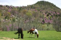 Horses grazing in the Springtime along Smoke Hole Road