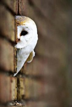 my favorite owl! The Barn Owl. Beautiful Owl, Animals Beautiful, Beautiful Things, Orcas, Photo Animaliere, Zoom Photo, Funny Birds, Peek A Boos, Cute Baby Animals