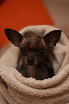 Chihuahuas are put to death in shelters due to overbreeding. Second to pit bulls.
