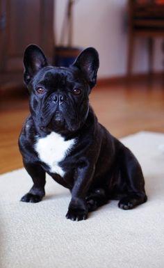 Buddha, the French Bulldog