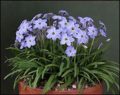 Starflower Rolf Fiedler  Ipheion Uniflorum; Amaryllidaceae; Alliodieae