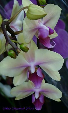 ❈ Fleurs Foncées ❈ dark art photography flowers & botanical prints - Bi-colored Orchid