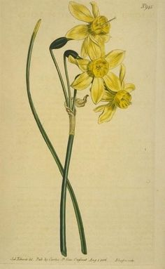 """""""Narrow-leaved Narcissus"""""""