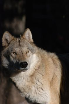 Mature timber wolf with side-lighting by Michael Poll on 500px timberwolf, damn.