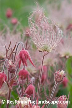 Restoring The Landscape With Native Plants: Early Flowering Prairie Natives