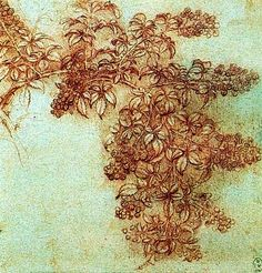 botanical studies by Leonardo da Vinci