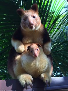 Just discovered these guys exist. The tree kangaroo of Papua New Guinea. : aww