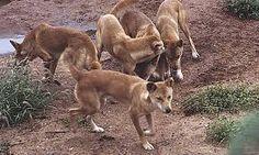 dingo - Google 검색
