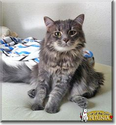Read Petunia the Maine Coon's story from Lawrence, Kansas and see her photos at Cat of the Day http://CatoftheDay.com/archive/2011/March/03.html .