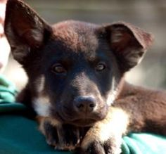 Belgian Shepherd Pups: Boys is an adoptable Belgian Shepherd Tervuren Dog in Unionville, PA. Twelve weeks, very smart and alert. Extremely socialized, handled by younger children every day. This breed...