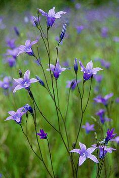карт   флора   цветы   Колокольчики   всеФоны