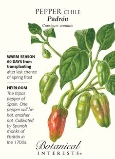 60 days from transplanting. Play a game of Spanish roulette with your taste buds. A favorite appetizer in Spain, these thin skinned peppers have a mellow flavor but every so often you'll bite into one