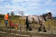desherbage-de-la-vigne-avec-le-cheval