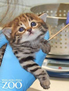 クロアシネコとは アフリカ南部に生息する世界最小の猫「クロアシネコ」。 名前のとおり足の裏側が真っ黒で、シナモンのような薄茶色から黄褐色の毛に覆われ、はっきりした黒い斑点があるのが特徴です。 そんなクロアシネコの子猫たちが、米国ペンシルベニア州のフィラデルフィア動物園で一般公開されました。    可愛すぎる子猫たち 生まれた子猫は全部で�