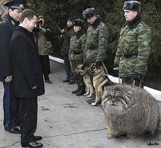 Big ass Manul - Russian cat