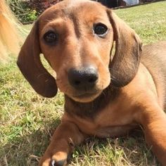 Daschund, Puppies, Colours, Dogs, Animals, Cubs, Animales, Animaux, Pet Dogs