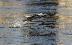 The perfect time to get the pose of the American Bald Eagle, just after grabbing a fish from below the icy, winter waters, with it's enormous and powerful talons. Eagles, Bald Eagle, Poses, American, Winter, Animals, Figure Poses, Winter Time, Animales