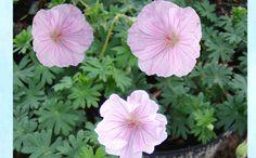 Neidonkurjenolvi Geranium sanguineum var. striatum Erityisen kaunis verikurjenpolven muunnos neidonkurjenpolvi viihtyy aurinkoisella tai puolivarjoisalla paikalla. Se sopii erinomaisesti kuiviin kukkaryhmiin, kivikoihin ja maanpeitekasviksi pensaiden ja puiden alle. Neidonkurjenpolvi kasvaa 10-15 cm korkeaksi ja sen kasvutapa on maanmyötäinen. Vaalean ruusunpunaiset, punasuoniset kukat avautuvat heinä-elokuussa. Talvenkestoltaan neidonkurjenpolvi on kestävä. Balcony Garden, Flowers, Plants, Outdoor, Inspiration, Outdoors, Biblical Inspiration, Plant, Outdoor Games