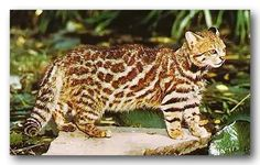 """Pampas Cat - The taxonomic evaluation of 96 museum specimens has lead to the conclusion that given the geographic differences of this cat, the """"Pampas Cat"""" may actually be 3 distinct species: Lynchailurus pajeros (high Andes from Equador to Patagonia and throughout Argentina), L. braccatus (Brazil, Paraguay, and Uruguay), and L. colocolo (Chile). Molecular analysis is planned for these specimens to prove this theory.:"""