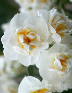 /\ /\ . Narcissus 'Bridal Crown' (Double daffodil)