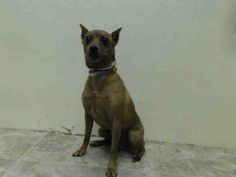 Brooklyn Center  CLIPPER - A0998468  NEUTERED MALE, BROWN, MIN PINSCHER MIX, 4 yrs STRAY - STRAY WAIT, HOLD RELEASED Reason STRAY Intake condition NONE Intake Date 05/02/2014, From NY 11355, DueOut Date 05/05/2014, https://www.facebook.com/photo.php?fbid=796948266984721&set=a.617941078218775.1073741869.152876678058553&type=3&theater
