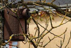 Photographie de Mary Moreau-Dutheil : Mésange charbonnière (Parus major) ayant niché dans un nichoir Schwegler. #ornithologie   #oiseaux   #nature