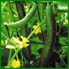 Gurken, nährstoffbedürftiges Fruchtgemüse.  Rankende Gurken können in Ihrem Garten an Zaun oder Spalier hochklettern – ideal für kleine Gärten, wir unterscheiden Salat-, Einlege- und Schälgurken  http://www.gartenschlumpf.de/gurken/