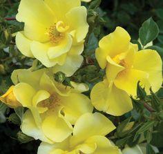 Thrive!® Lemon | Star® Roses and Plants