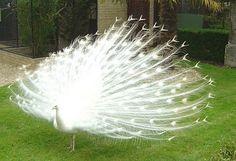 Albine turkey!!