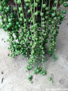 indoor garden How To Care For & Propagate A String Of Pearls Plant Horticulture, Plants, Succulents, Propagating Plants, Plant Care, Cactus And Succulents, Garden Plants, Gardening Tips, Planting Succulents