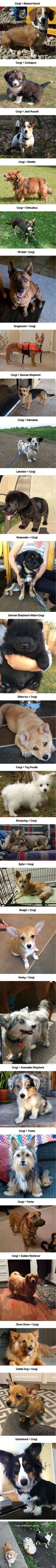 26 Corgeous Corgi Mixes That Are Fluffily Bootiful - 9GAG